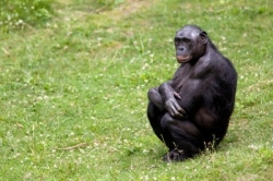 Bonobos, atheists and the source of our moral impulse